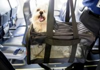 flying with pets pet air travel tips guide to traveling with Flying With A Cat In Cabin