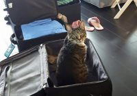 travelling with a cat in cabin journal of a city girl Flying With A Cat In Cabin